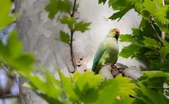 Pappagallino (liberoilverso) Tags: bird birds animal animals canon uccelli colori canoneos pappagallo animali animale uccello pappagallino canoneos1100d