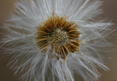 I've Had It! (Explore) (Diane Marshman) Tags: wild flower seed past prime macro plant northeast pa pennsylvania nature close up feathery white brown center explore
