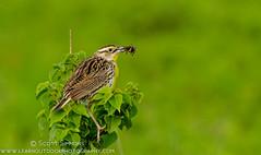 Eastern Meadowlark (sjsimmons68) Tags: bird animals favorites fav blackbirds easternmeadowlark lakejesup fllocations marlbedflatslakejesupca