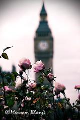 Big Ben behind rose bush (Double Infiniti) Tags: uk roses england london westminster thames nikon europe dof unitedkingdom housesofparliament parliament bigben belltower clocktower depthoffield riverthames rosebush touristattractions westminsterbridge centrallondon