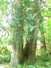 IMG_0837 (rnjacobs) Tags: washington olympicmountains hugetree