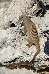 Banded mongoose on rocks (thewildlifephotographer) Tags: etosha namibia wildlife animals mongoose