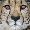 The Mask (Penny Hyde) Tags: bigcat cheetah sandiegozoo shared flickrbigcats