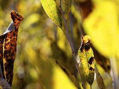 (photo ephemera) Tags: ya101915 centraloregon photoephemera leaves willow salix
