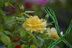 Garden Snake (swong95765) Tags: snake garden roses rose bokeh flower safe beauty animal planta