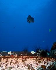 FLA-161001-ND800-8179 (ferlopez) Tags: batfish fish longfinbatfish marinelife plataxteira spadefish underwaterphotography wailea mauihawaii usa