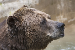 Grizzly Bear 38 (cypher40k Photography) Tags: color colour nikon grizzlybear brownbear toronto torontozoo zoo