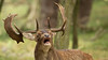Burlend damhert (Alex Verweij) Tags: burlen hert damhert deer canon 5d natuur nature wild alexverweij awd duinen gewei afschieten jager jagers hunting damherten