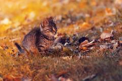 Autumn feline (Psztor Andrs) Tags: cat feline autumn leafs grass sunset nature dslr nikon sigma 70300mm hungary andras pasztor photography