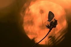 Soleil rouge. (bertolinijacques) Tags: macro proxy levdesoleil rouge papillon contrejour azur france cvennes ardche stpaullejeune