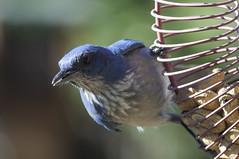 Woodhouse's Scrub-Jay (garycascio) Tags: woodhousesscrubjay scrubjay birds birding audubon featheredfriends