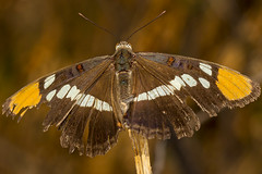 California Sister (Adelpha bredowii) (pointnshoot) Tags: canonef100mmf28lmacroisusm canonmacroringlitemr14ex butterfly delvalleregionalpark californiasister adelphabredowii