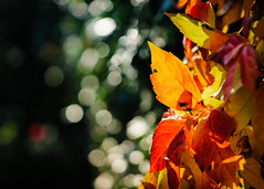 Bubbly (aistora) Tags: autumn fall nature leaves yellow orange red tree plant bush shrub backlight bakit sunlight sunshine sunny morning sunrise green ivy bokeh dof focus defocus sharp unsharp blur bubbles bubbly shadow deep dark light conrast color colour colourful palette depth distance presence sony alpha ilce a6000 sel90m28g lightroom