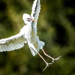 Banzai (philbeckman56) Tags: nature safaripark sandiegozoosafaripark wildlife zoo egret bird birdinflight