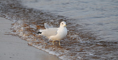 MAM_0796 (melissam606) Tags: sandypoint birds water bay