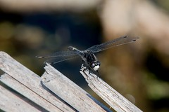 2016  Dot-tailed Whiteface (Leucorrhinia intacta) 15 (DrLensCap) Tags: dottailed whiteface leucorrhinia intacta moraine hills state park mchenry illinois o bug insect dragonfly dragon fly robert kramer