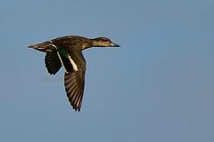Common Teal (female) (Jeffreycfy) Tags: commonteal teals bif bird birding nature wildlife animal nikon d500 nikkor200500mmf56 ducks