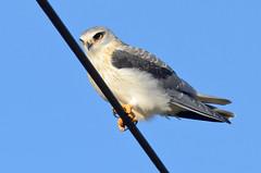 Watchful eyes - Olhos atentos (Yako36) Tags: portugal alcochete bird birdwatching nature natureza tc14e nikonafs300f4 nikond7000