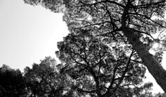 Roman Trees (music_man800) Tags: rome roma roman forum palatine hill museum ancient trees tree pine conifer sky shadow silhouette black white bw monochrome mono chrome grayscale greyscale gray grey scale arty artistic creative photography gimp2 gimp edit italy canon 700d walk holiday september sunny hot day shapes outdoor nature natural light looking up flora
