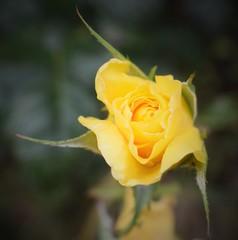 Autumn Rosebud (Bebopgirl1969) Tags: rosebud rose yellow flower garden thebestyellow