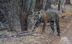 Stalking Mode (fascinationwildlife) Tags: animal mammal wild wildlife nature natur national park predator tiger tigress bengal forest djungle summer female hunt stalking cat big india asia