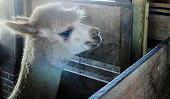 Alpaca (weeloveminis) Tags: flickrlounge weeklytheme ae