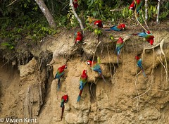 Red-and-green macaws at clay lick9 (tau247) Tags: amazonianrainforest arachloropterus manunationalpark peru redandgreenmacaw southamerica behavior behaviour bird bright claylick colorful colourful green minerals nature red wildlife