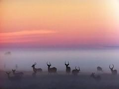 Deers in the evening mist (dirk maas) Tags: iphone4 eveningdawn mist fog deer