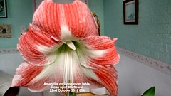 Amaryllis on living room table Close upof 4th flower 22nd October 2016 004 (D@viD_2.011) Tags: amaryllis living room table close upof 4th flower 22nd october 2016