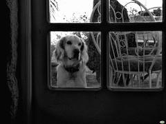 Meister (juantiagues) Tags: meister perro cristal puerta juantiagues juanmejuto