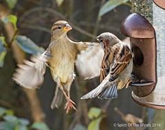 "The Battle Begins (jimgspokane) Tags: birds sparrows wildlife washingtonstate spokanewashingtonstate spokanewashington spokane ""nikonflickraward"""
