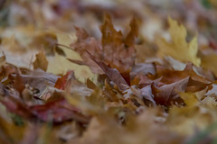 When they start to fall there´s no turning back (Infomastern) Tags: botanicgarden botaniskaträdgården lund autumn höst leaf löv exif:model=canoneos760d geocountry camera:make=canon geocity camera:model=canoneos760d geostate exif:isospeed=3200 geolocation exif:lens=efs18200mmf3556is exif:aperture=ƒ56 exif:focallength=178mm exif:make=canon