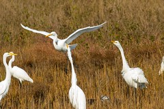 7K8A4054 (rpealit) Tags: scenery wildlife nature chincoteaque national refuge great egrets bird egret