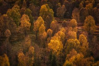 Autumn birch near Loch Ordie