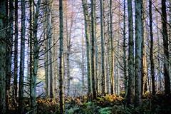 Sunlight through trees. (artanglerPD) Tags: tree trunks ferns sunlight shade