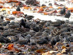 starling (BrigitteE1) Tags: starling star sturnusvulgaris vogel bird singvogel songbird birds vgel multitudeofstarlings