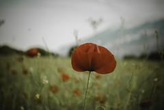 a poppy.. (ckollias) Tags: beauty nature closeup day field flower flowerhead fragility freshness growth nopeople outdoors petal plant poppy sky