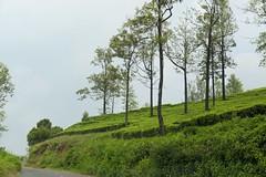 Tea Plantations, Ooty (code_martial) Tags: d3300 1685mmf3556gvr ooty2016 ootacamund udhagamandalam roadtrip shotbynazia