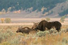 Teton Moose (greggohanian) Tags: grandtetons tetons moose foliuage sagebrush