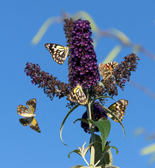 IMGP8854 -  a Kaleidoscope of Butterflies on the Buddleia (womboyne7) Tags: buddliea plant mauve spring butterflies white caper brown common sky blue pentax k311