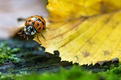 Wolfram - The grumpy beetle (Bilderweise Hobbyfotografie) Tags: beetle marienkfer grumpy kfer