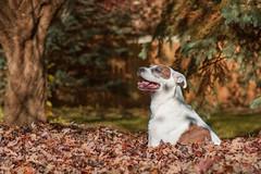 Leaves (patkelley3) Tags: dog leaves fall autumn