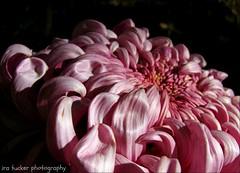 If children grew up according to early indications.... (itucker, thanks for 2.6+ million views!) Tags: luxor mum chrysanthemum macro bokeh dukegardens