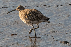 Mudslinger (Tim Melling) Tags: numenius arquata curlew mud winter timmelling newcastle tyne