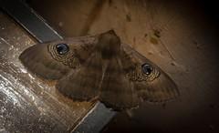 Dasypodia selenophora (dustaway) Tags: arthropoda insecta lepidoptera noctuidae catocalinae dasypodiaselenophora southernoldladymoth australianmoths australianinsects lismore northernrivers nsw australia nature