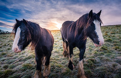 Spring Hill Horses at sunrise (SimonBaker5) Tags: springhill frost sky horses sunrise ramsbury grass wildhorses wiltshiremmoring