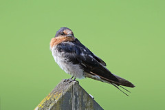 Welcome Swallow (Alan Gutsell) Tags: birds bird photo alan wildlife nature new zealand newzealandbirds wildlifephoto auckland ulva island endemic
