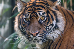 Aina ♀ - You are Too Beautiful to be True (Belteshazzar (AKA Harimau Kayu)) Tags: aina country tiger zoo tabby lynx feline grimalkin cat asian asiancat bigcats sumatran pantheratigrissumatrae animal sumatratiger tigredesumatra суматранскийтигр tygrsumaterský tygryssumatrzański sumatraansetijger szumátraitigris tigre тигр tygr tijger tigris burgers holland batu ratna 수마트라호랑이 苏门答腊虎 虎 hổsumatra sumatrakaplanı เสือโคร่งสุมาตรา सुमात्रनवाघ სუმატრისვეფხვი טיגריססומטרה harimausumatera ببرسوماترایی portrait sumatrantiikeri the most beautiful girl zoorasia yokohama chessington uk roar arnhem beauty yagiyama yagiyamazoologicalgardens sendai japan