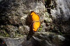 Butterfly (omar de luna) Tags: xilitla laspozas edwardjames slp mexico pentax jungle nature sierra