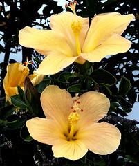 La Palma 31 (megegj)) Tags: gert bloem flower blume fleur fiore